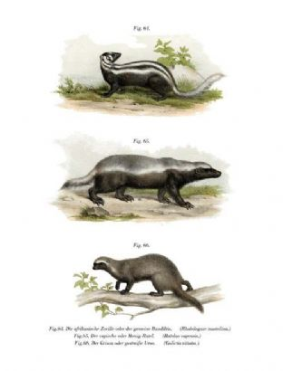 African or Common Band Iltis (Rhabdogate Mustelina) & Cape Ratel  (Ratelus Capensis) & Greater Grison (Galictis Vittata)